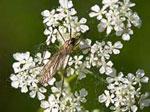 päivän luontokuva, Heinäkuu, Pentti Salosen ottama luontokuva  Lähikuvassa paljon pieniä kukkasia olevista kukkasista, jotka muodostavat kukkasen.