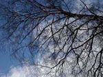 päivän luontokuva, Sininen taivas, valkoiset pilvet näkyvät lehdettömien oksien takaa.   Pentti Salosen ottama luontokuva.