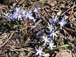 päivän luontokuva, Huhtikuu, Tiina Laitisen ottama luontokuva. Ruskeiden kuolleiden lehtien ja oksien seasta kasvaa uusia sinisiä kukkia.